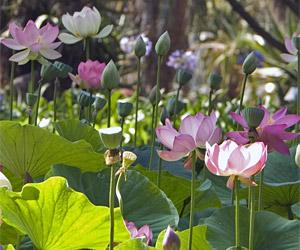 Events-lotus