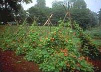 Monticello vegetable 2